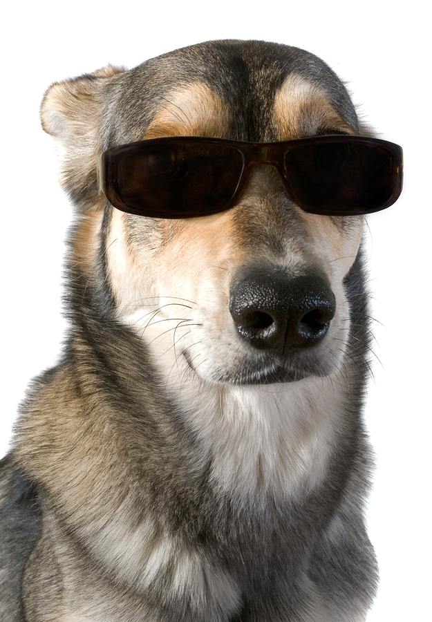 Serious big dog wears sunglasses isolated white